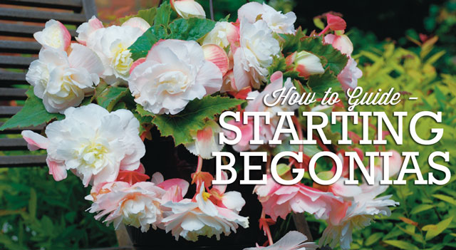begonia-how-to